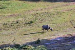 Den lösa buffeln bor i pinjeskogen, har en vana av att bo i grässlättarna arkivfoton
