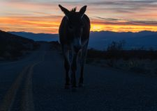 Den lösa burroen irrar längs Route 66 i Arizona royaltyfri foto