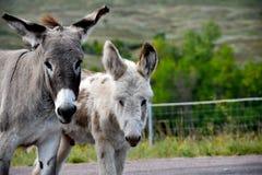 Den lösa burroen med behandla som ett barn burroen arkivbild
