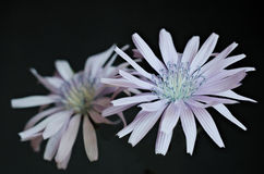 Den lösa cikorien blommar på mörk bakgrund Arkivbild