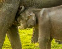 Den lösa elefanten behandla som ett barn att dricka mjölkar för moder Royaltyfria Bilder
