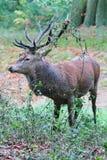 Den lösa fullvuxna hankronhjorten för röda hjortar i buskigt parkerar Fotografering för Bildbyråer