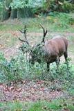 Den lösa fullvuxna hankronhjorten för röda hjortar i buskigt parkerar Royaltyfri Bild