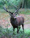 Den lösa fullvuxna hankronhjorten för röda hjortar i buskigt parkerar Royaltyfri Foto