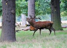 Den lösa fullvuxna hankronhjorten för röda hjortar i buskigt parkerar Royaltyfria Foton