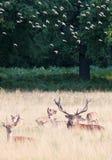 Den lösa fullvuxna hankronhjorten för röda hjortar i buskigt parkerar Arkivbild