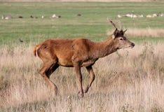 Den lösa fullvuxna hankronhjorten för röda hjortar i buskigt parkerar Arkivfoto
