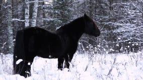 Den lösa härliga svarta hingsten står i snön, skog i bakgrunden Ångan från andedräkten stock video