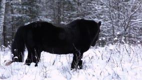 Den lösa härliga svarta hingsten står i snön, skog i bakgrunden Ångan från andedräkten arkivfilmer