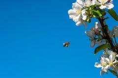 Den lösa honungsbit som svävar bredvid äppleblomningen, blommar mot blå himmel Fotografering för Bildbyråer