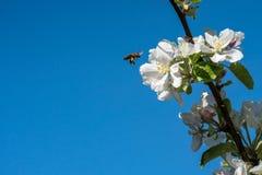 Den lösa honungsbit som svävar bredvid äppleblomningen, blommar mot blå himmel Arkivbilder