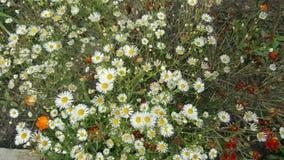 Den lösa kamomillen blommar i natur Arkivfoto