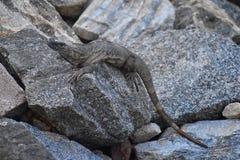 Den lösa leguanen som vilar på skymning vaggar på, i Marina Vallarta i Puerto Vallarta Mexico Ctenosaura pectinata som gemensamt  arkivfoton