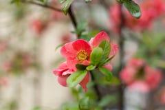 Den lösa ljusa blomningen steg Royaltyfri Bild