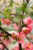 Den lösa ljusa blomningen steg Royaltyfria Bilder