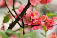 Den lösa ljusa blomningen steg Arkivbilder