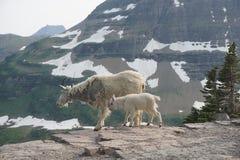 Den lösa mamman och behandla som ett barn getter i glaciärnationalpark Arkivfoto