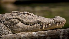 Den lösa Marsh Crocodile närbilden, med ögon, hudtextur och tänder mönstrar synligt royaltyfri fotografi