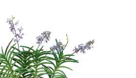 Den lösa orkidén blommar med gröna sidor i tropisk rainforestiso arkivbild