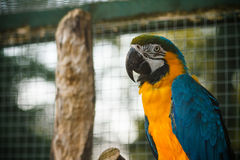 Den lösa papegojafågeln, guld-blått mekaniskt säga efter aran, munkhättaambigua Arkivbilder