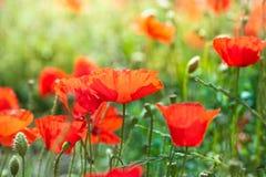 Den lösa röda vallmo blommar på morgonsolljus Fotografering för Bildbyråer