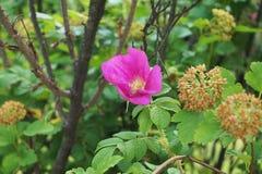 Den lösa rosa busken med knoppar Royaltyfri Fotografi