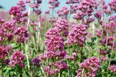 Den lösa rosa färgen blommar på sjösidan Arkivbilder