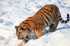 Den lösa siberian tigern följer dess rov Royaltyfri Fotografi