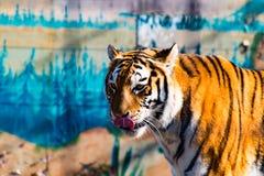 Den lösa tigern 1 Royaltyfri Fotografi
