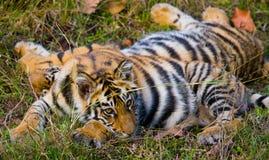 Den lösa tigern för gröngöling som ligger på gräset india 17 2010 för india för elefant för bandhavgarhbandhavgarthområde umaria  Arkivfoto