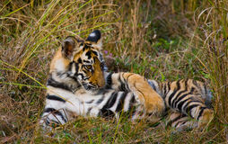 Den lösa tigern för gröngöling som ligger på gräset india 17 2010 för india för elefant för bandhavgarhbandhavgarthområde umaria  Arkivfoton