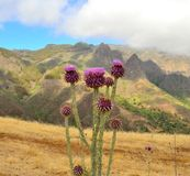 Den lösa tisteln blommar onopordumcardueliumen, Gran canaria Royaltyfri Foto