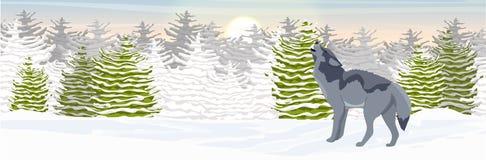 Den lösa vargen tjuter i en snöig nordlig dal Spruce skog stock illustrationer
