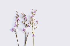 Den lösa violeten blommar på vit bakgrund Royaltyfri Bild