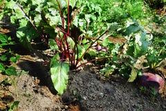 Den lövrika blasten av rotfruktbetroot och rovor i en grönsakträdgård Arkivbilder