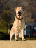 Den Labrador retrieveren förföljer Royaltyfri Bild