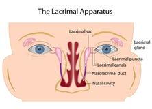 Den lacrimal apparaturen Fotografering för Bildbyråer