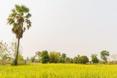 Den lantliga cornfielden med gömma i handflatan Fotografering för Bildbyråer