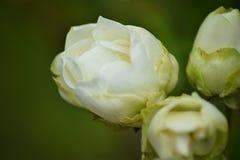 Den lantliga vita tr?dg?rden steg fotografering för bildbyråer
