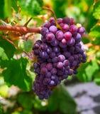 Den Lanzarote LaGeria vingården på svart vulkaniskt smutsar Arkivfoton