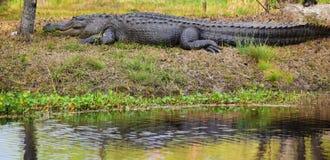 Den lata alligatorn värma sig bredvid träsket Arkivbild