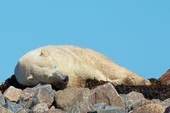 Den lata isbjörnen på vaggar arkivfoto