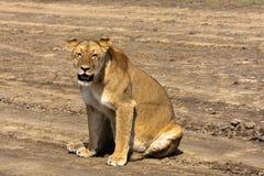 Den lata lejoninnan Sandig savann av Serengeti, Tanzania Royaltyfri Foto