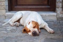 Den lata väktaren, hunden sover nära dörren, slågen trötthet royaltyfria bilder