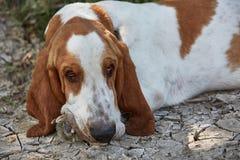 Den ledsna basset-hunden ligger på jordningen Arkivbild