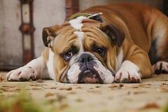 Den ledsna engelska bulldoggvalpen väntar arkivfoton