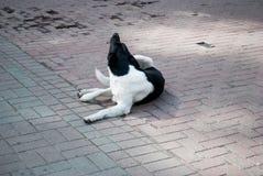 Den ledsna hunden som ligger på den jord/chockerande framsidan av hemlöns, när den stora katten går, hundkapplöpning för passeran Arkivfoto