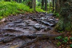 Den leriga bergslingan med krokigt rotar efter regn arkivbilder