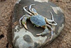 Den levande krabban sitter på en sten Royaltyfri Bild