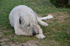 Den liggande hunden för den irländska varghunden äter benet på gräset Hunden gnag ett ben i trädgården på gräsmattan Royaltyfria Foton